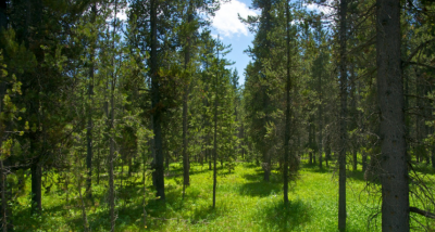 a meadow in the pine trees