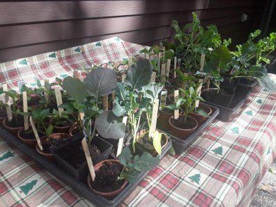 Vegetable seedlings awaiting planting