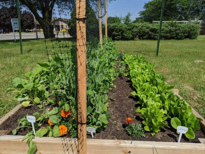 Vegetable plants are growing fast in the Good News Garden at Holy Trinity Episcopal Church in Wyoming, Michigan